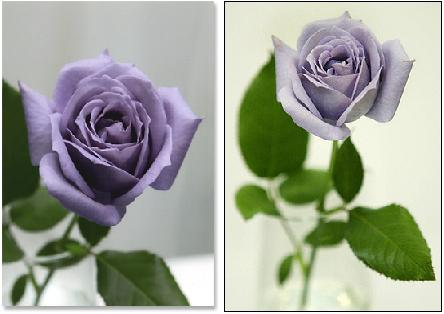 Dibujo20080226_blue_roses_from_suntory