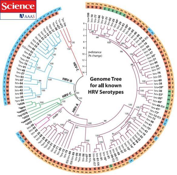 dibujo20090402phylogenetictreeshowingrelationshipsbetweenallknownhumanrhinovirus
