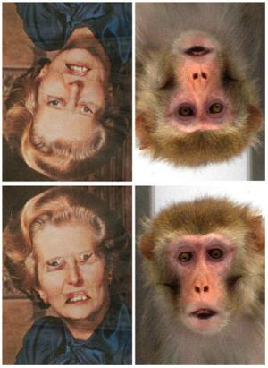 Dibujo20090709_thatcher_effect_rhesus_monkeys_both_tatcherized_photos