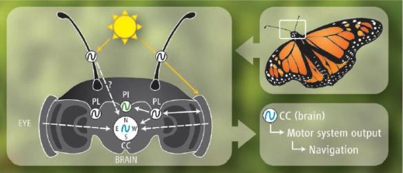 Dibujo20090924_monarch_butterfly_antenna_orientation_by_sunlight