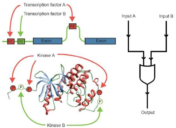 Dibujo20090924_Plasticity_transcriptional_regulation_phosphoregulation_two_transcription_factors_kinases_creates_OR_logic_gate
