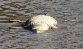 Dibujo20090927_Nile_crocodiles_in_Olifants_River_dying_in_masse