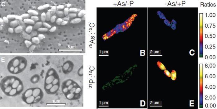 Bacterias GFAJ-1