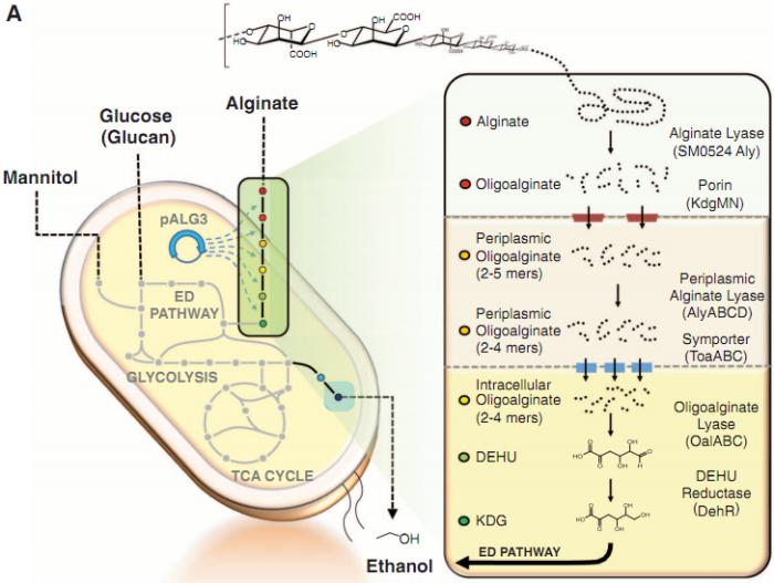 rutas catabolicas y anabolicas de los carbohidratos