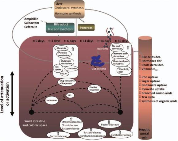 Dibujo20130102 presumptive model related follow-up effect antibiotics on microbial flora
