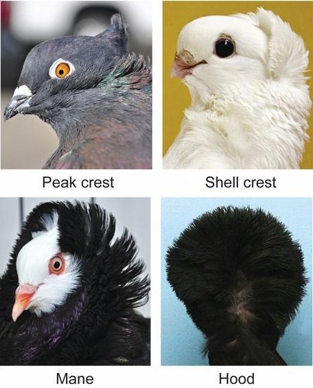 Dibujo20130201 peak crest - shell crest - mane - hood - pigeons