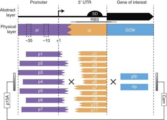 Dibujo20130314 Composition of irregular transcription and translation genetic elements