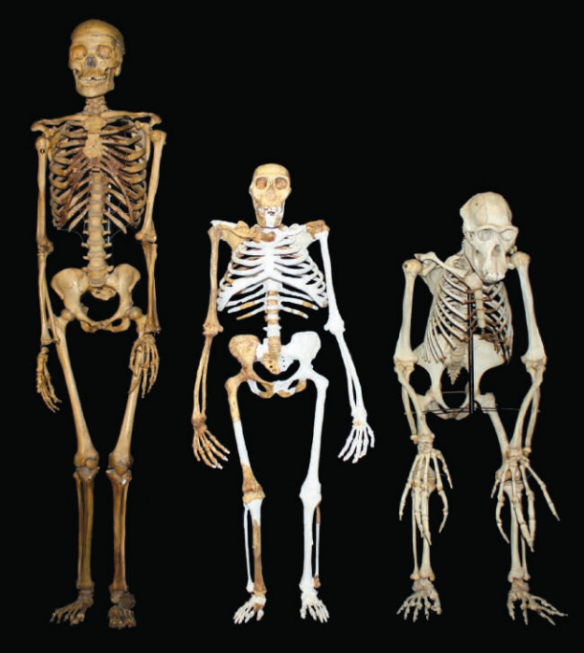 Dibujo20130414 Australopithecus sediba reconstruction - compared to small-bodied female modern Homo sapiens and male Pan troglodytes