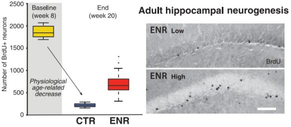Dibujo20130510 adult hippocamapl neurogenesis vs control