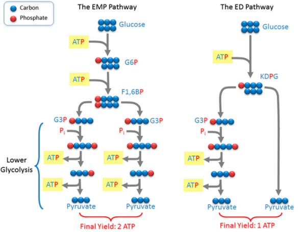Dibujo20130605 structural differences between ED and EMP glycolytic pathways