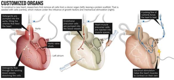 Dibujo20130703 customized heart organ - research procedure