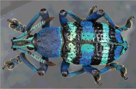 Dibujo20130712 Weevils have a variety of photonic crystals in their scales for generating bright colors