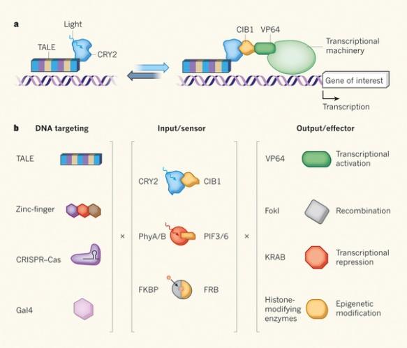 Dibujo201300821 Modular control of genome function - nature com