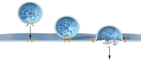 Dibujo20131007 Rothman discovered that a protein complex enables vesicles to fuse with their target membranes