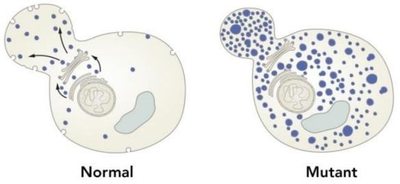 Dibujo20131007 Schekman discovered genes encoding proteins that regulates vesicle traffic