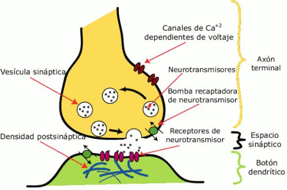 Dibujo20131007 vesicula sinaptica - sinapsis quimica - nobel medicina 2013