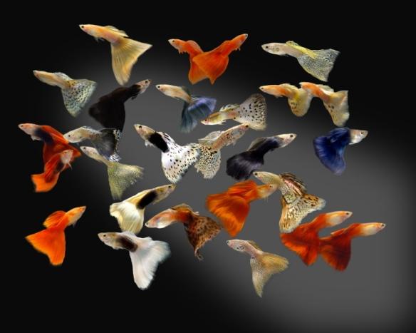 Dibujo20131102 poecilia reticulata - guppys - acuarioadictos com